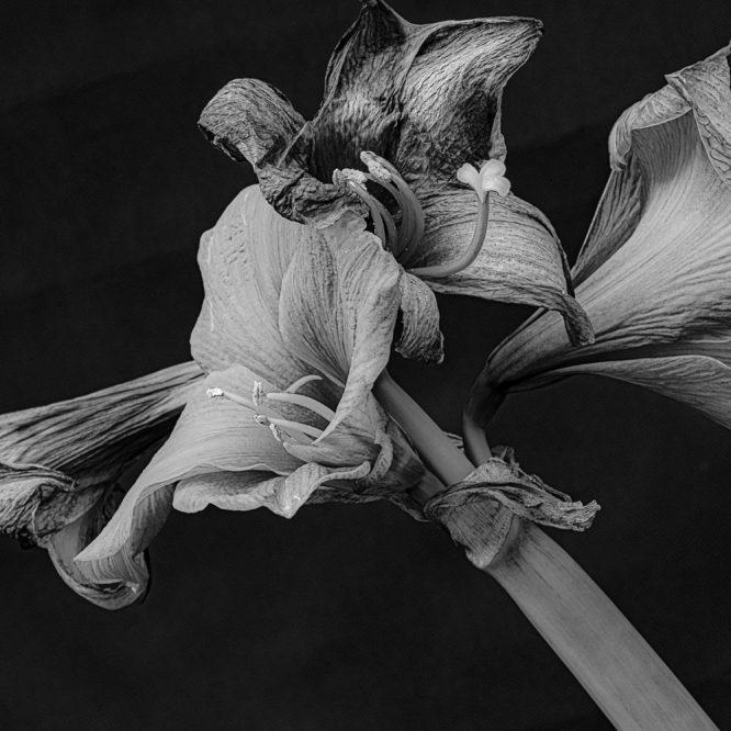 Amaryllis in Schwarz-Weiß